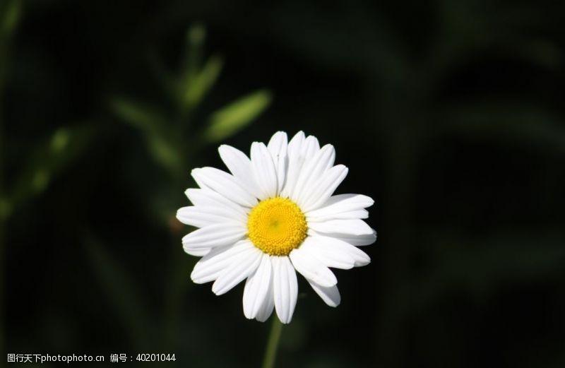 花瓣白色的雏菊图片