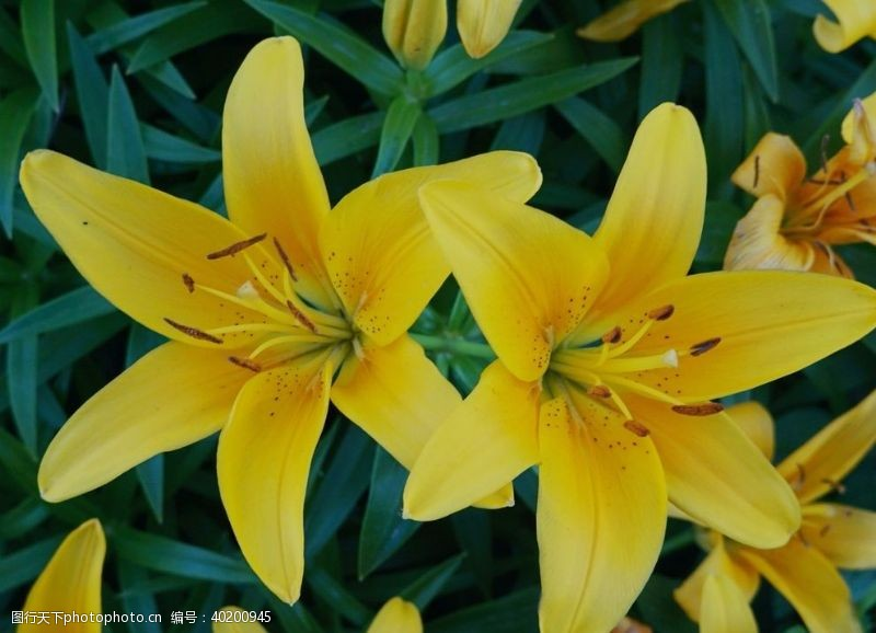 漂亮的百合花图片
