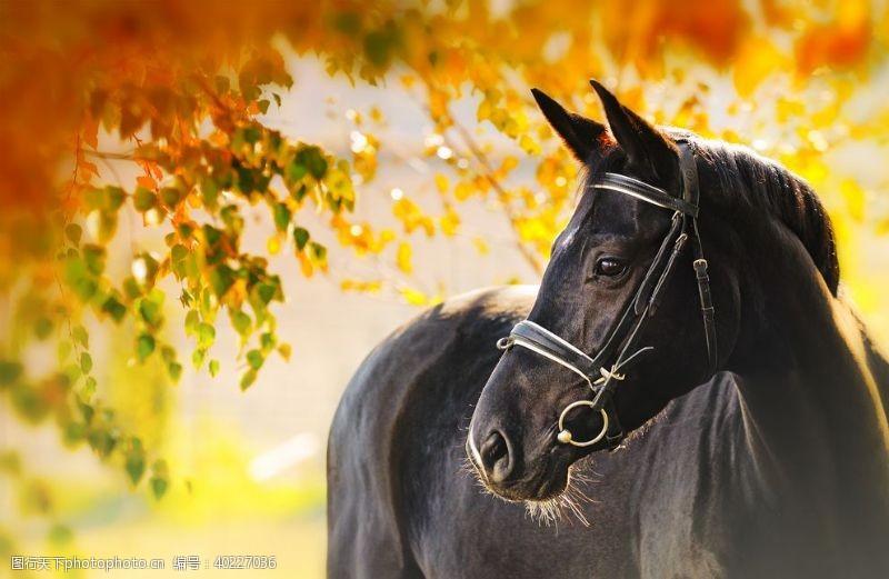 蒙古一匹健壮的黑色骏马图片