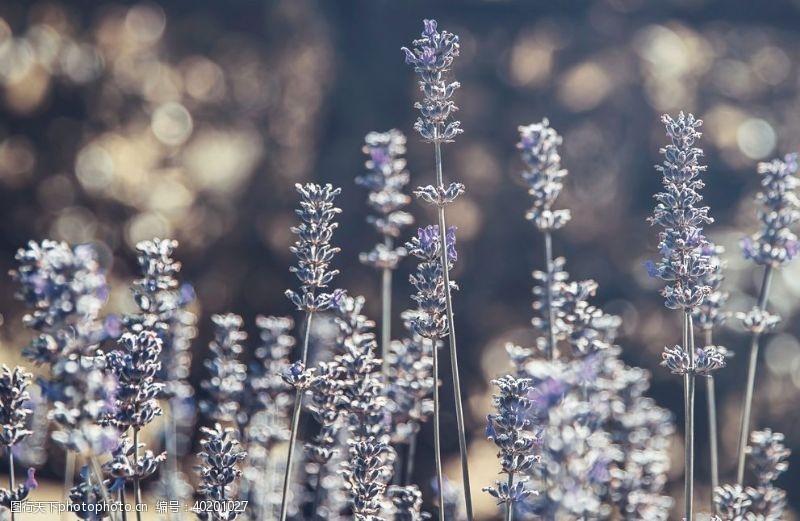 花瓣紫色的薰衣草图片