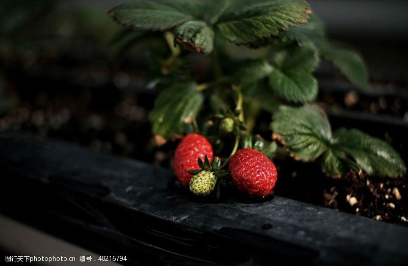 套盒草莓图片