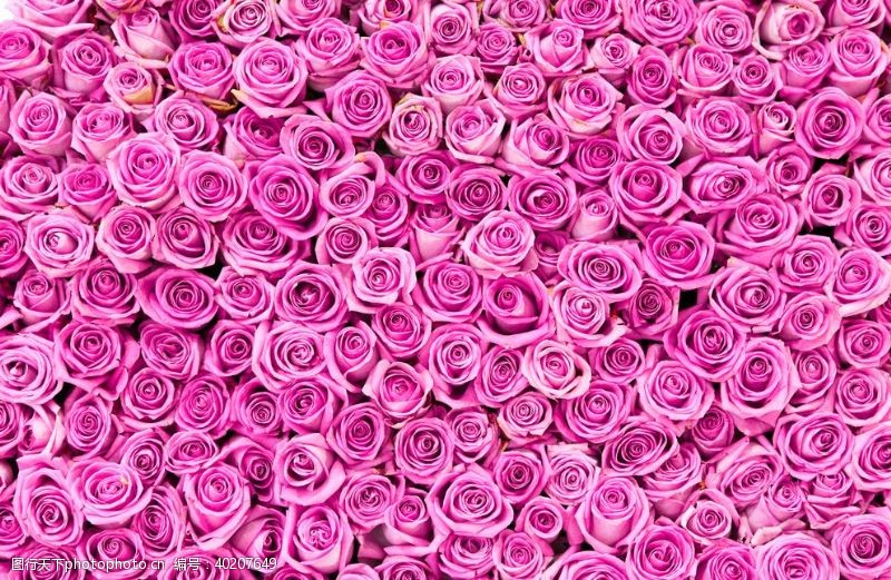 粉红色的玫瑰花背景图片