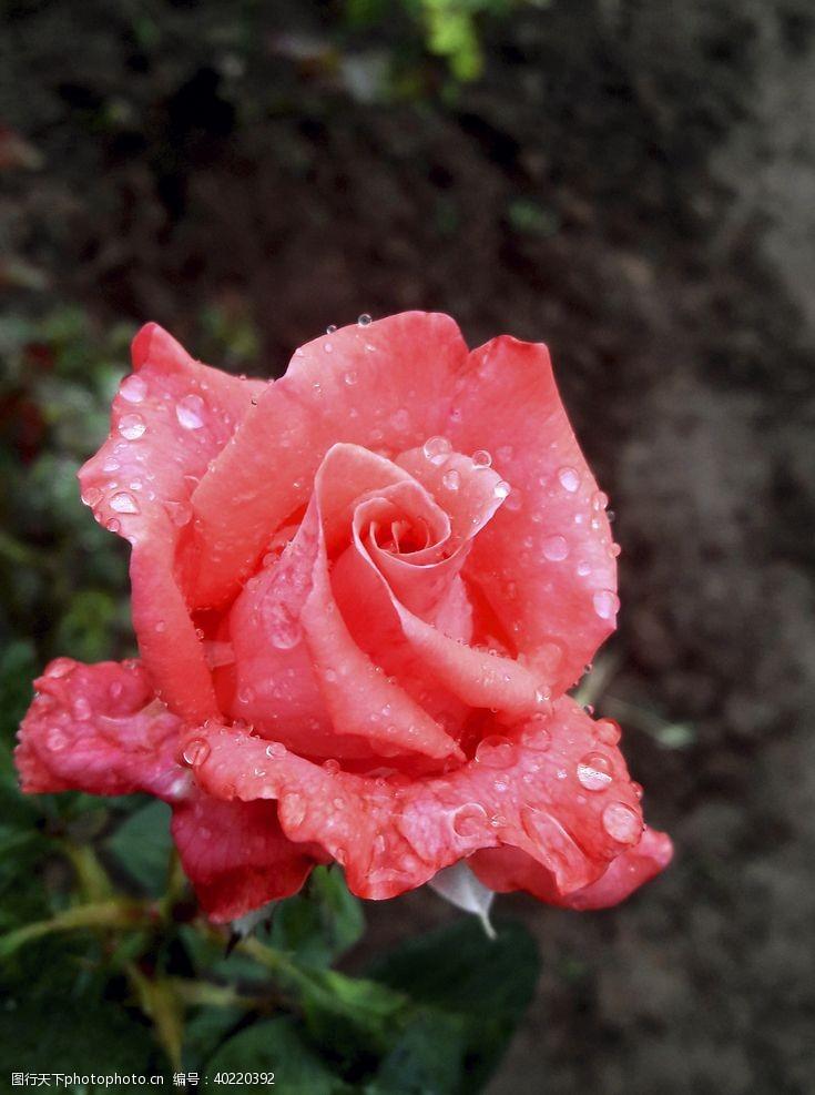 服装图案玫瑰花图片