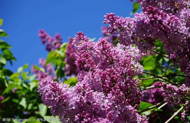花瓣美丽的紫丁香鲜花图片