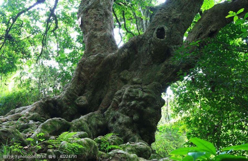 千年古树群王建春摄图片