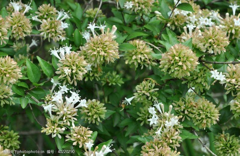白花园林花灌木糯米条图片