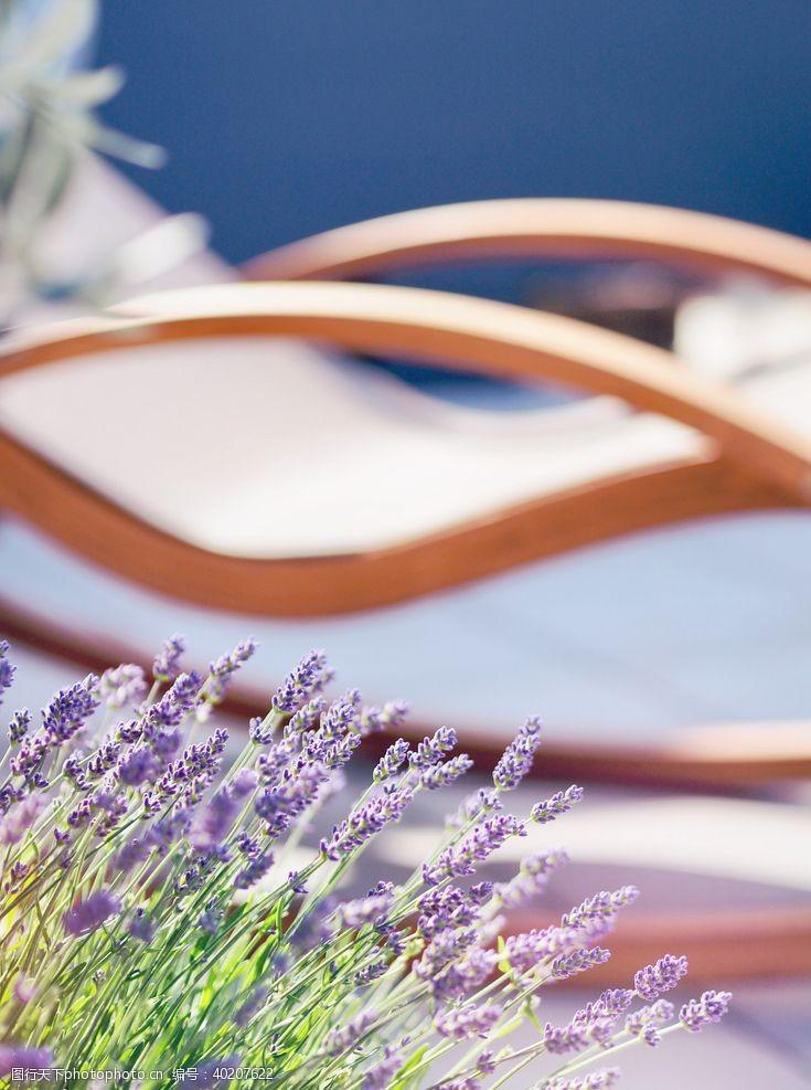 花骨朵紫色薰衣草图片