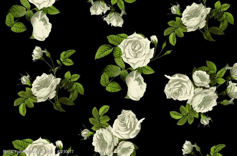 西方白玫瑰图片