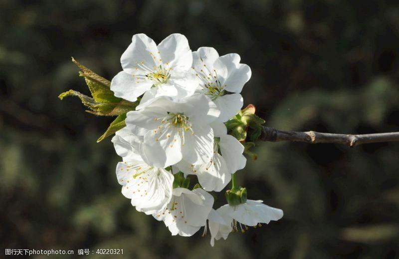 白花景观植物樱桃的花枝图片