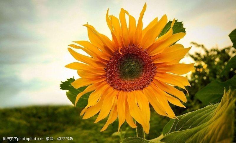 太阳花向日葵图片