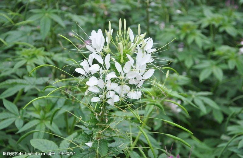 白花一年生花卉白色的醉蝶花图片