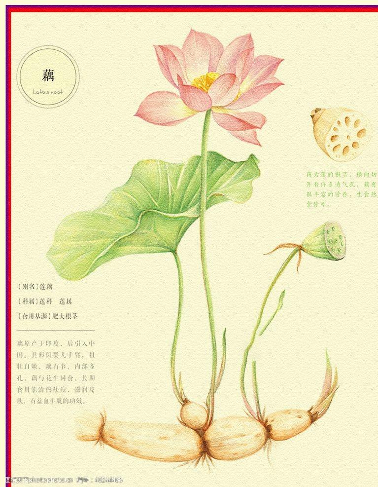 手绘花朵荷花图片