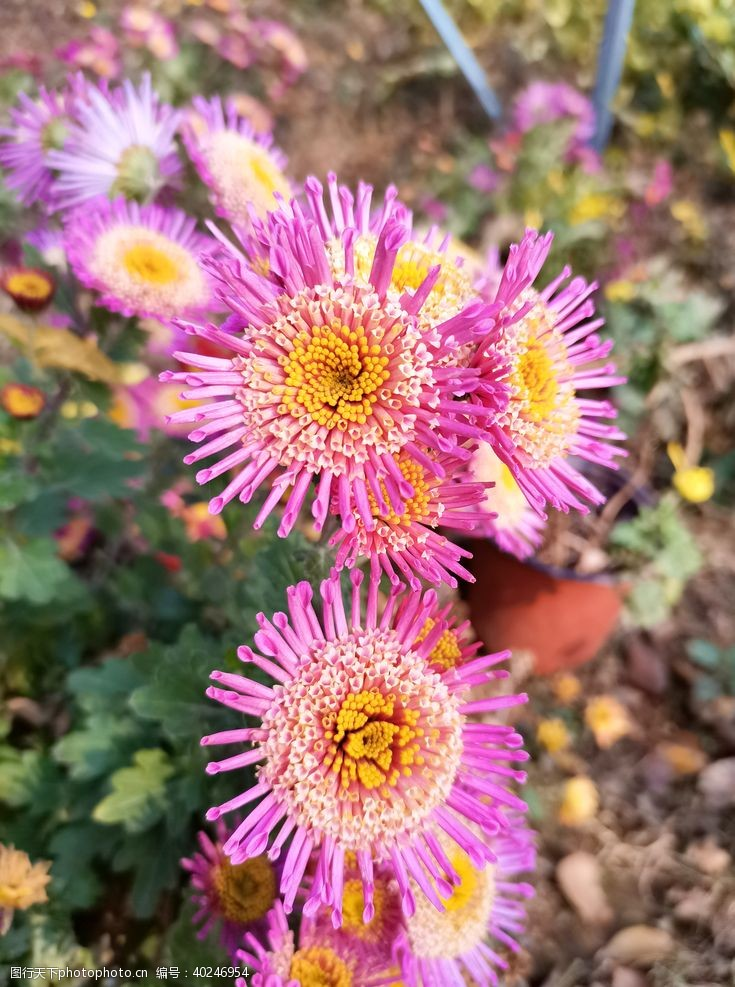 秋菊红色菊花花朵手机摄影图片