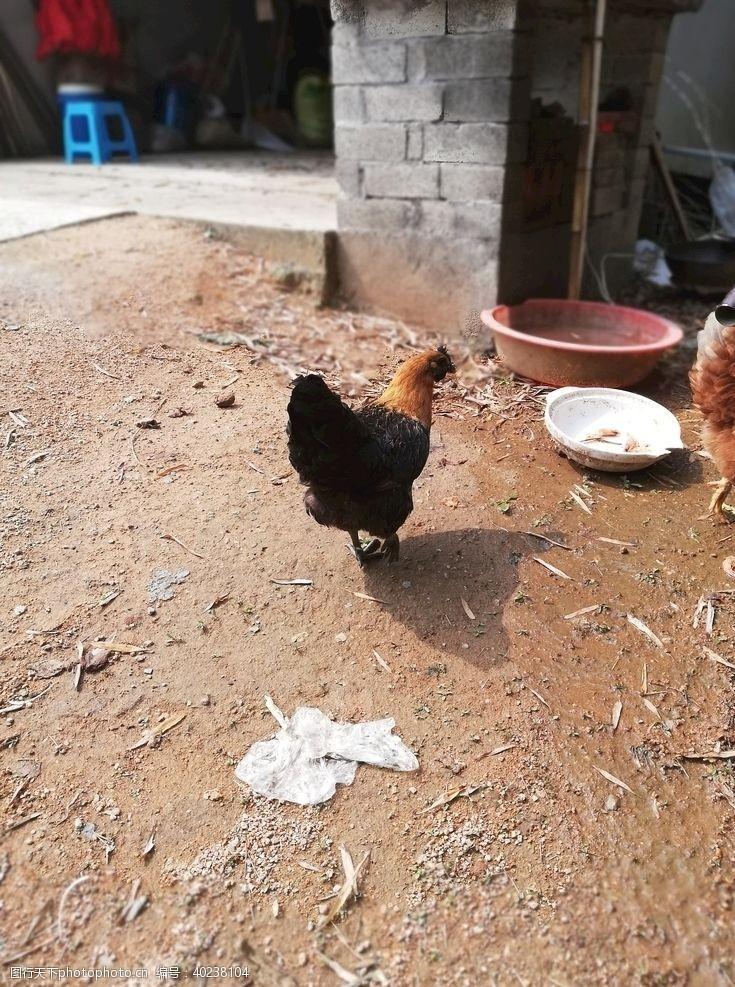公鸡母鸡图片