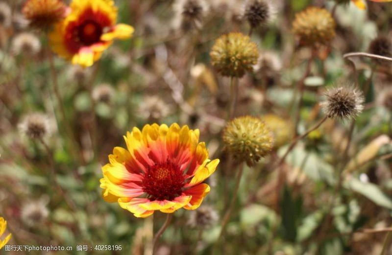 太阳花那些花儿图片