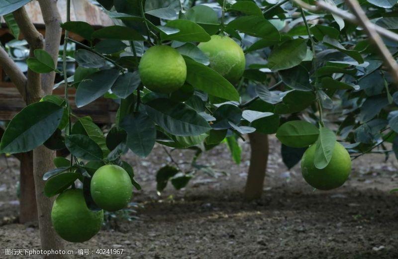 植物花草柠檬图片