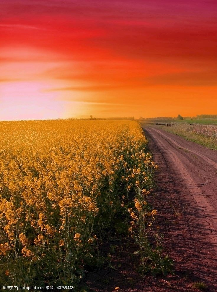 油菜田园风景图片