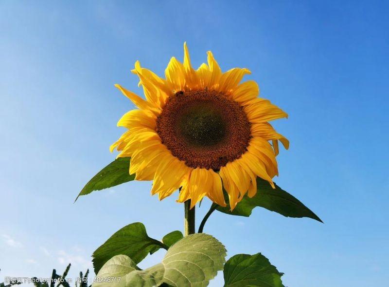 植物花草向日葵向阳花太阳花图片