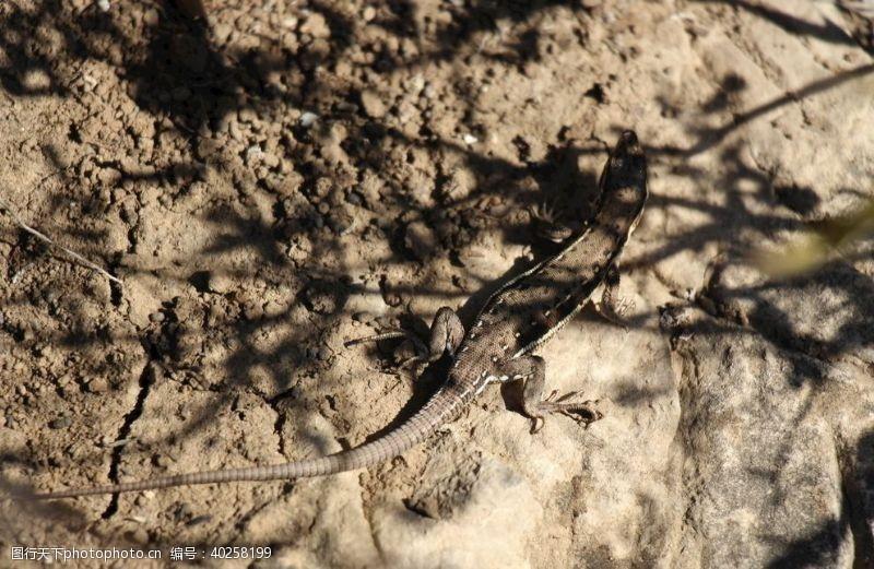 登山小蜥蜴图片