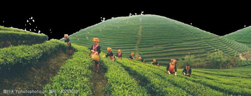 茶行茶山图片