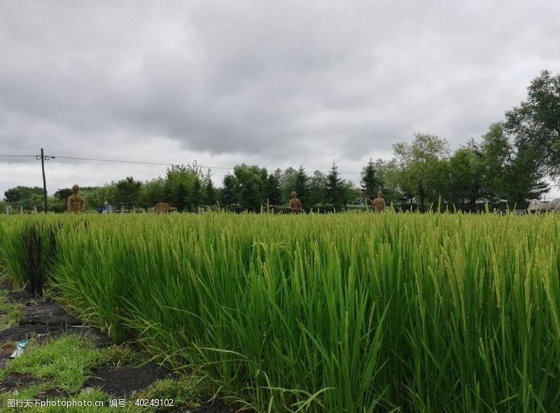 石板水稻田图片