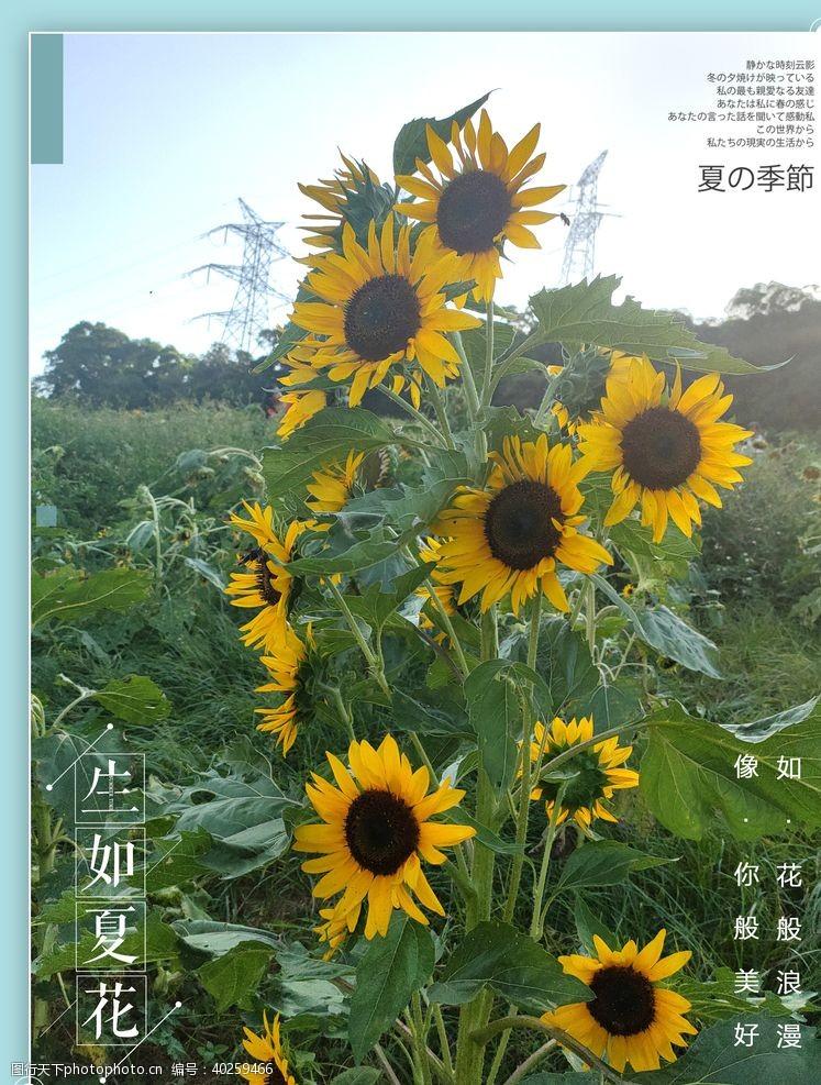 花草树木向日葵图片