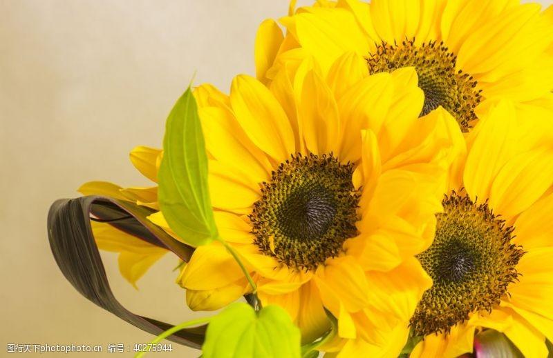 花骨朵向日葵图片