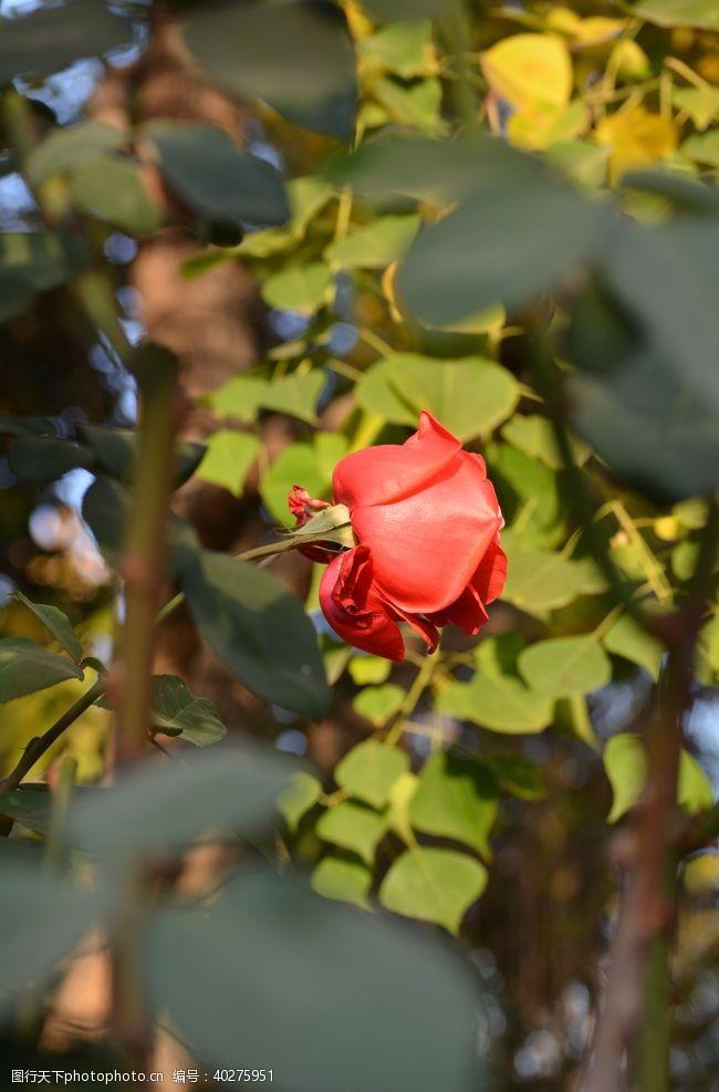 阳光下红色月季玫瑰花朵特写图片