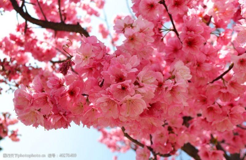 摄影图樱花图片