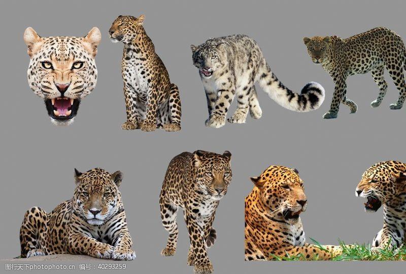 分层图豹子图片