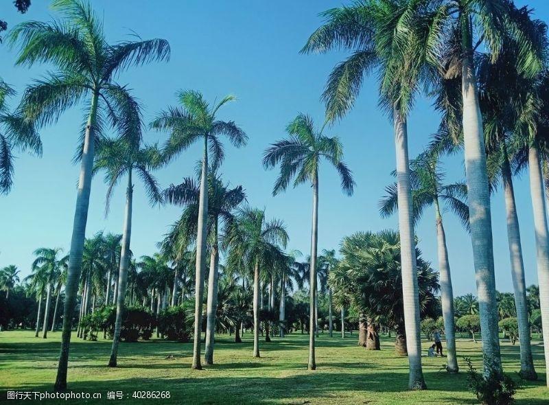 公园海南椰林图片