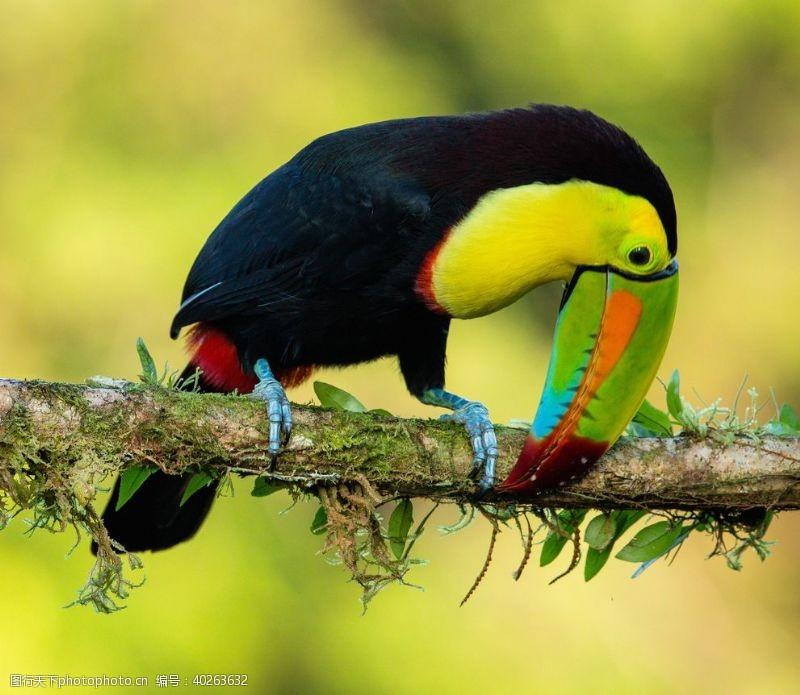 鸟巢巨嘴鸟图片