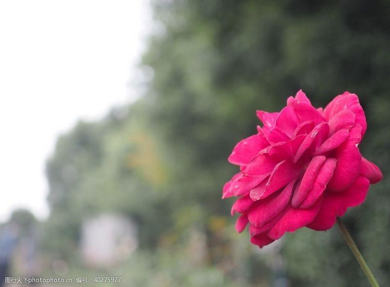服装印花玫瑰花图片