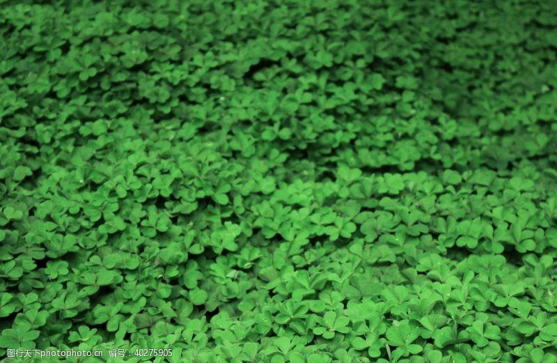 绿色三叶草背景图片