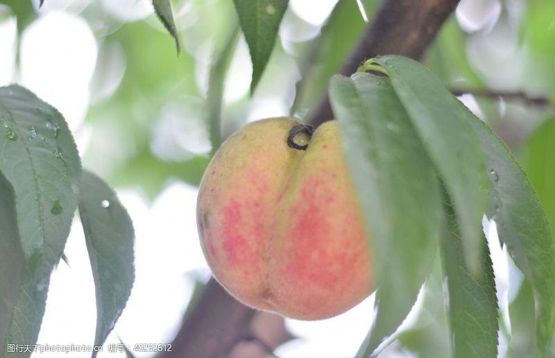高山水蜜桃图片