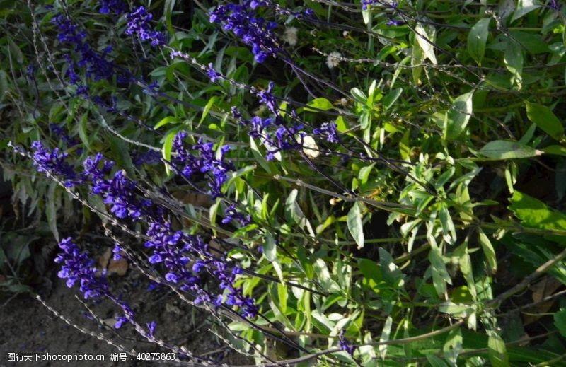 园林绿化鼠尾草图片