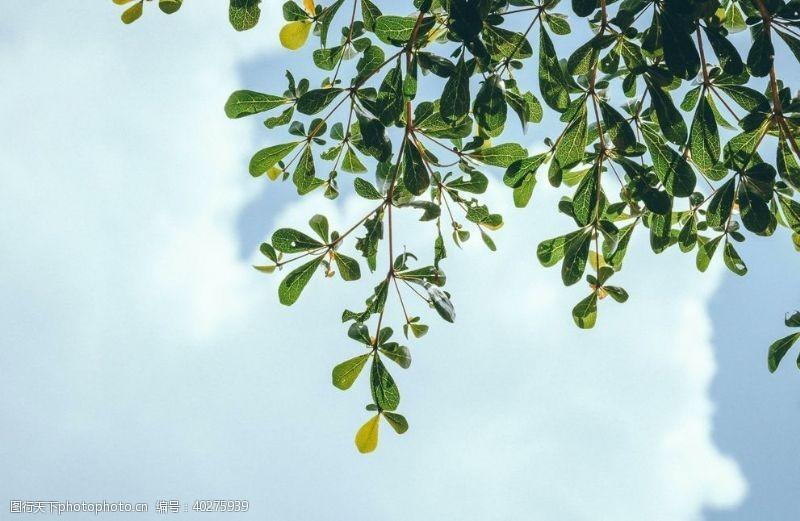 绿色树叶图片