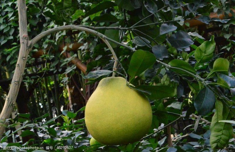 植物花草柚子图片