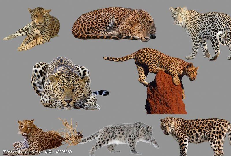 老虎豹子图片