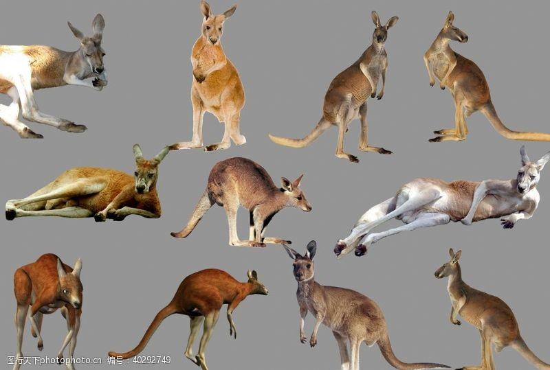 澳大利亚袋鼠图片