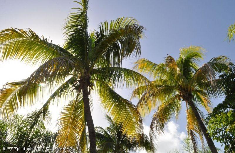 热带植物海边的椰子树图片
