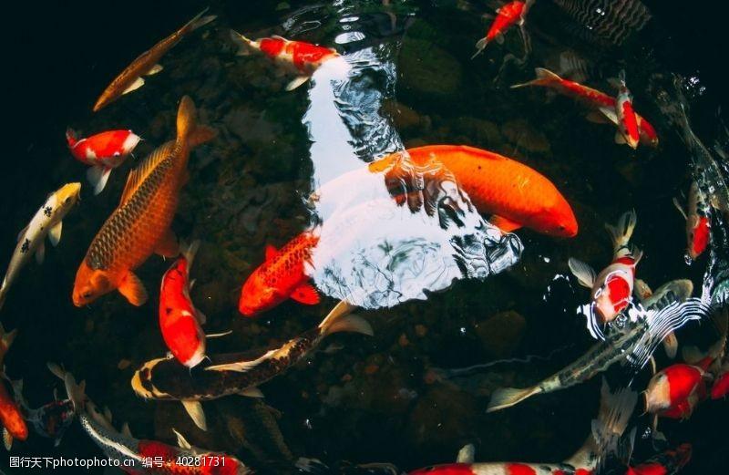 鱼类锦鲤图片
