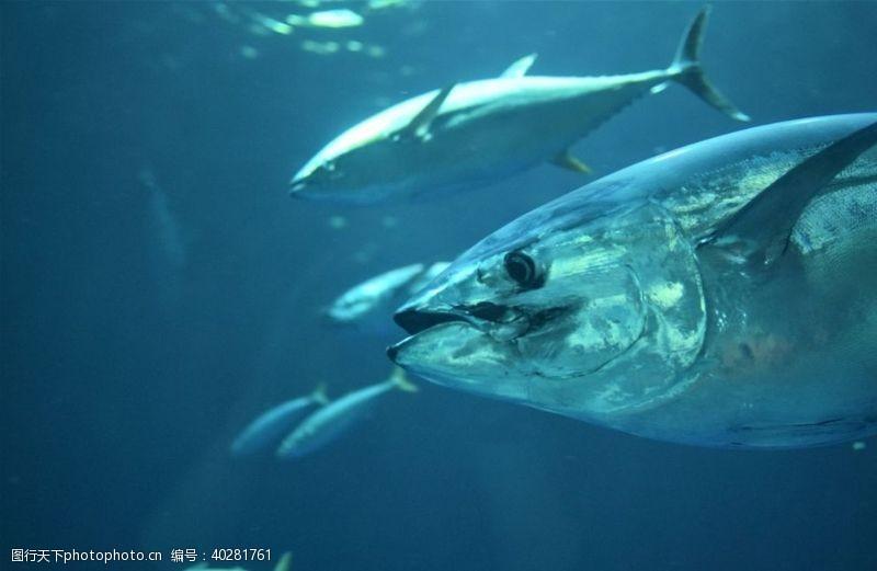 鱼类金枪鱼图片