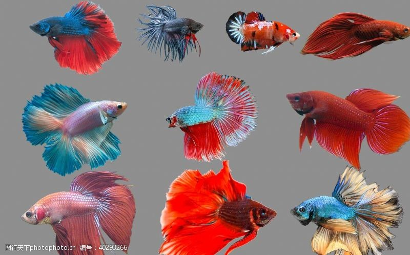 海洋金鱼图片