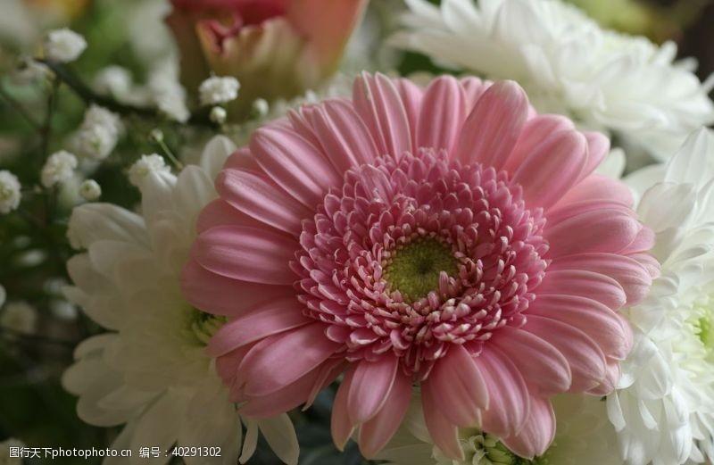 花素材菊花花图片