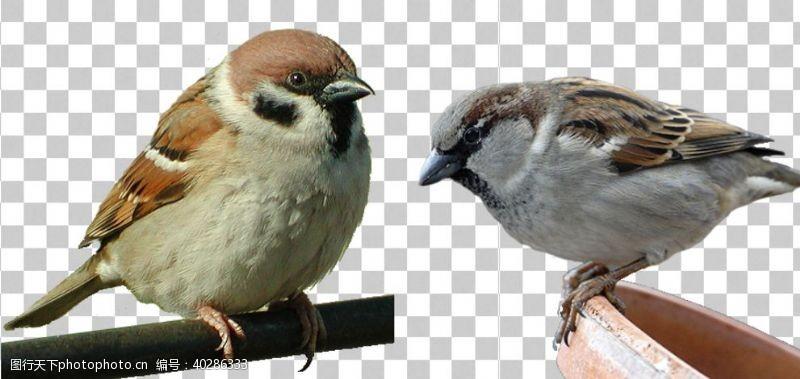 鸟麻雀图片