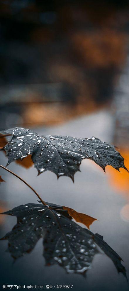 叶子梧桐图片