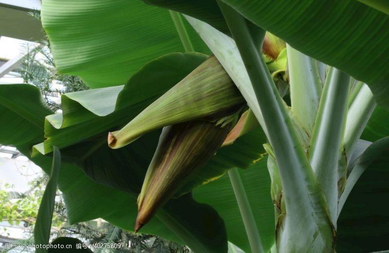 香蕉花图片