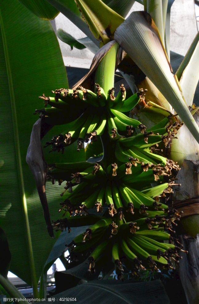 叶子香蕉图片