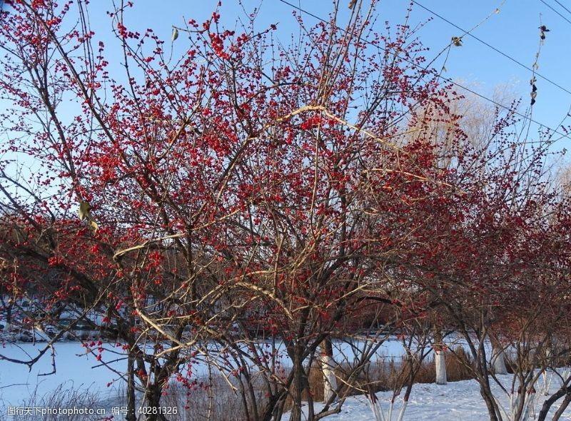 树林小红果树图片